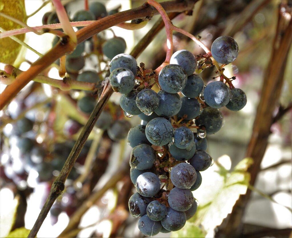 Viinamarjad