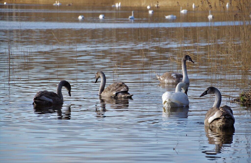 Luiged ujumas Klooga järvel